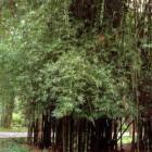 Bambusa lapidea  semi