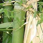 Bambusa nutans Nepal Bambus Samen