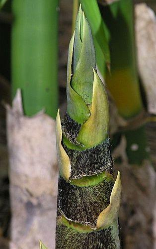 Bambusa vulgaris common bamboo seeds
