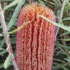 Banksia brownii  semi
