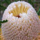 Banksia hookeriana  semillas