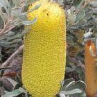 Banksia media dwarf  semillas
