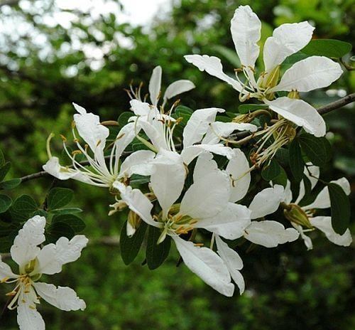 Bauhinia bowkeri orchid tree seeds