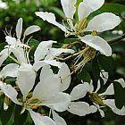 Bauhinia bowkeri Orchideenbaum Samen