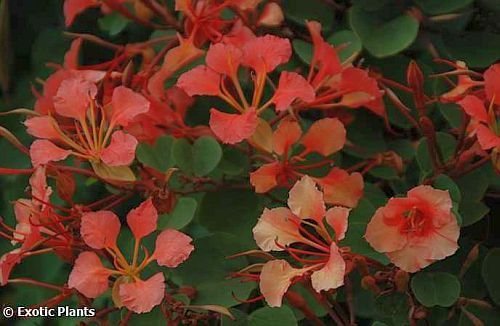 Bauhinia galpinii red orchid tree seeds