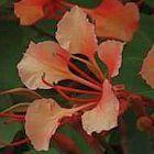 Bauhinia galpinii ?rbol de la orqu?dea roja semillas