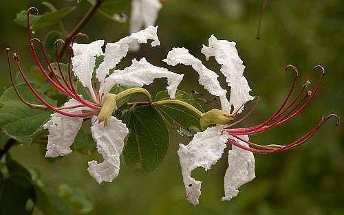 Bauhinia petersiana Large White Bauhinia - wild coffee bean seeds