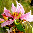 Bauhinia urbaniana  semillas