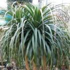 Beaucarnea guatemalensis Pied d ?l?phant graines