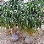 Beaucarnea recurvata Nolina - Beucarnea - Pata de elefante - Bocarnea semillas