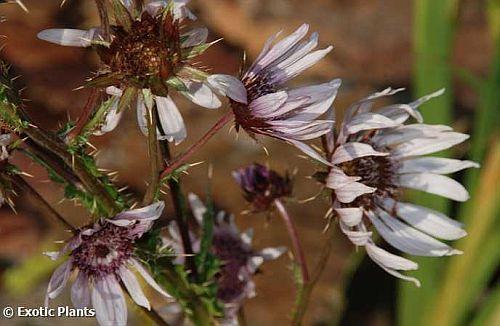 Berkheya purpurea purple berkheya seeds