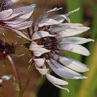 Berkheya purpurea Беркея пурпурная cемян