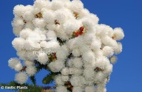 Berzelia abrotanoides redleg buttonbush seeds