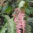 Blechnum fragile Epiphytischer Farn Samen