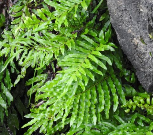 Blechnum minus Soft water fern seeds