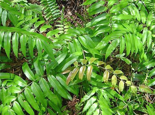 Blechnum orientale centipede fern seeds
