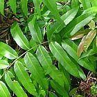 Blechnum orientale Blecno o Helecho fuerte semillas