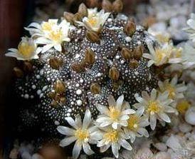 Blossfeldia liliputana syn: Blossfeldia liliputiana seeds
