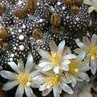 Blossfeldia liliputana  semi
