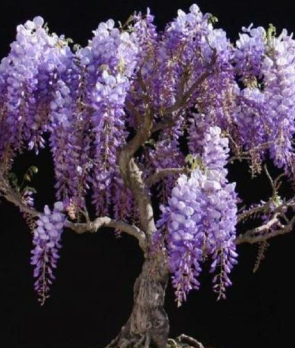 Bolusanthus speciosus Tree Wisteria seeds