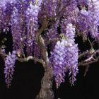 Bolusanthus speciosus Afrikanischer Blauregen - Blauregenbaum Samen