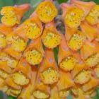 Bomarea multiflora