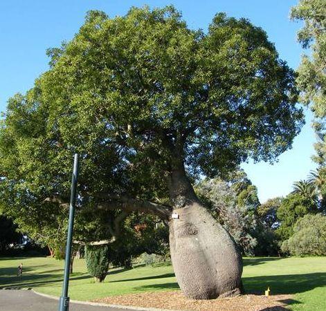Brachychiton rupestris Queensland Bottle Tree seeds