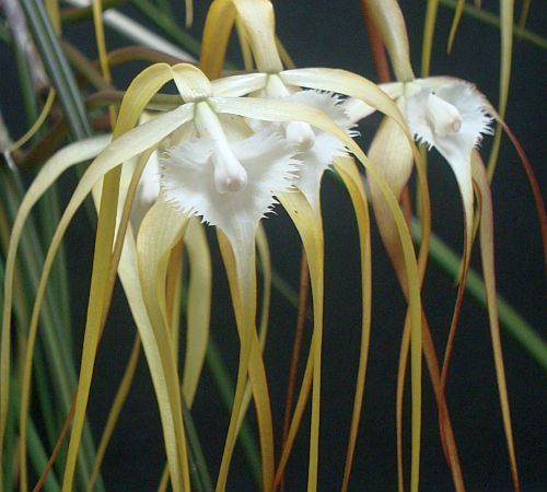 Brassavola cucullata orchids seeds
