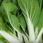 Brassica rapa Chinesischer Kohl Pak choi wei? Samen