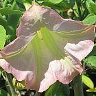 Brugmansia insignis Angeli di tromba semi