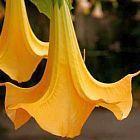 Brugmansia versicolor Engelstrompete Samen