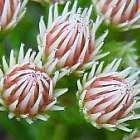 Brunia paleacea  cемян