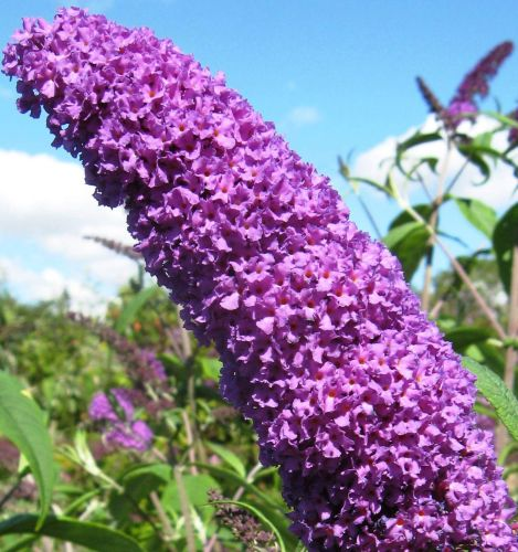 Buddleja davidii Butterfly Bush seeds