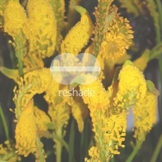 Bulbinella cauda-felis gelb  semillas