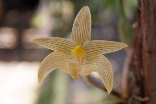 Bulbophyllum siamensis orchids seeds