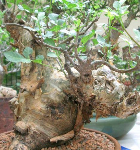 Bursera Fagaroides Elephant Tree Seeds
