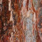 Bursera simaruba Gommier rouge graines