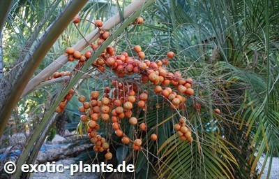Butia capitata Pindo Palm - Jelly Palm seeds
