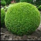 Buxus sempervirens  semi