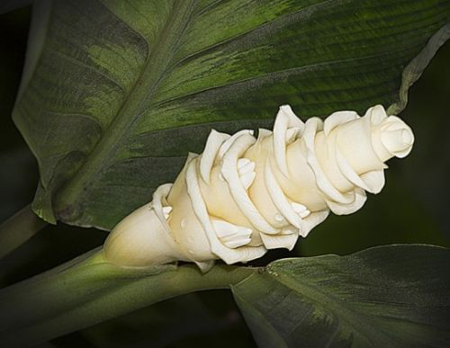 Calathea warscewiczii Ice Cream flower seeds