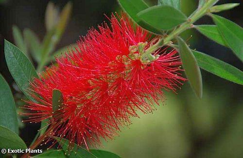 Callistemon rigidus bottlebrush tree seeds