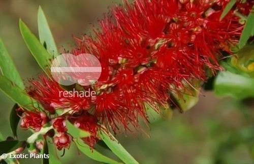 Callistemon viminalis weeping bottlebrush seeds