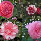 Camellia japonica Mixed Colours Cam?lia - Rose du Japon - couleurs m?lang?es graines