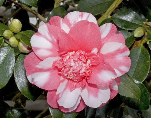 Camellia japonica cv. Chandlers Elegance Japanese camellia seeds