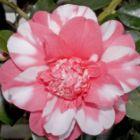 Camellia japonica cv. Chandlers Elegance  cемян