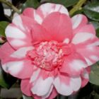 Camellia japonica cv. Chandlers Elegance  semi