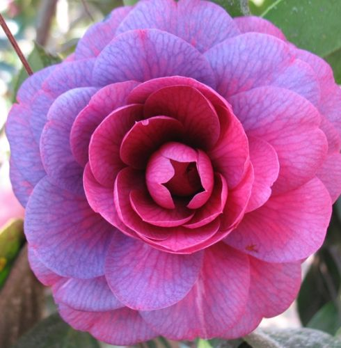 Camellia Japonica Purple Japanese Camellia 194 Seeds