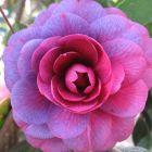 Camellia japonica purple Cam?lia - Rose du Japon graines