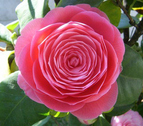Camellia japonica rosa Japanese camellia seeds