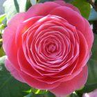 Camellia japonica rosa  cемян